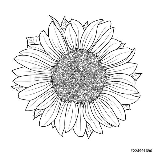 Sunflower For Coloring Book Vector Flower Art Drawing Sunflower Drawing Sunflower Coloring Pages