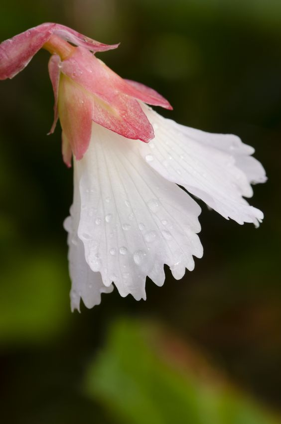 Oconee Bells: Shortia galacifolia - Flickr - Photo Sharing!