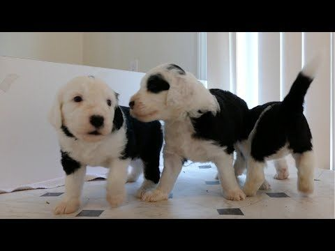 Sheepadoodle The Old English Sheepdog Poodle Mix Breed Poodle Mix Breeds Old English Sheepdog Puppy Dogs And Kids