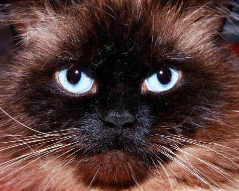 http://gatos.facilisimo.com/reportajes/razas/el-gato-himalayo_185684.html?aco=gl8