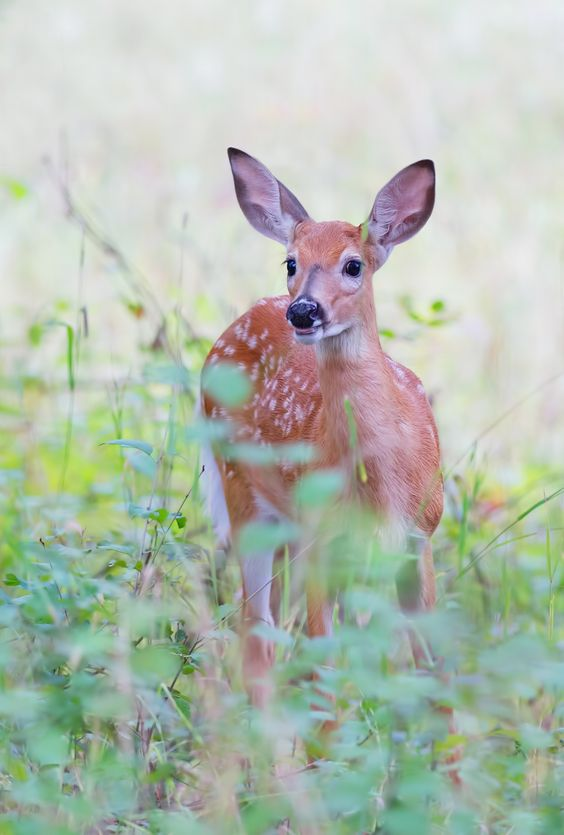 Fawn up close - White-tailed fawn by Jim Cumming on 500px