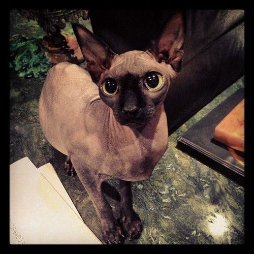 I'm obsessed with Kat Von D's hairless sphinx cat Piaf!!!!!