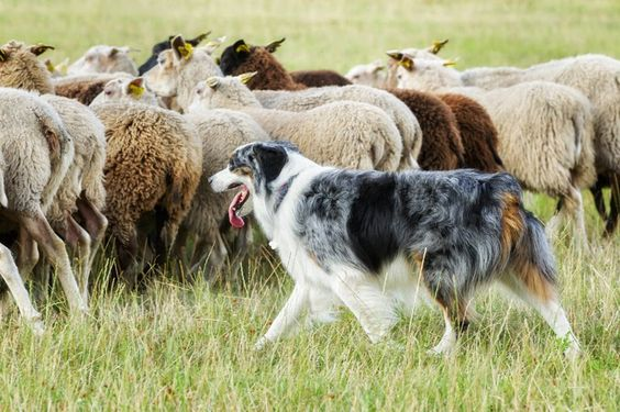 How can we  improve working dog programs?