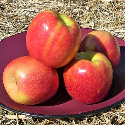 19 Best Apple Tree Varieties With A Guide To Flowering Groups Gardener S Path Pink Lady Apples Apple Tree Fast Growing Fruit Trees