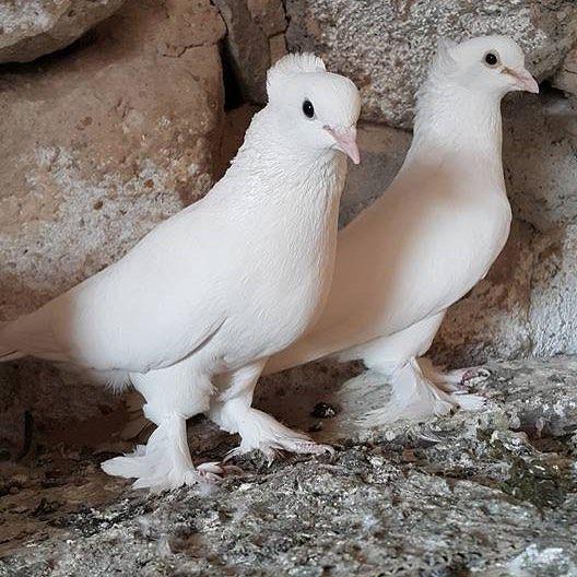 Pin By Aslam Khan On Weird Birds Weird Birds Pigeon Beautiful Birds