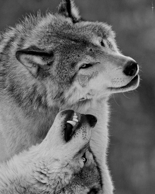Wolves                                                       … …