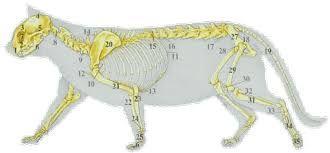 Bildergebnis für wo sitzen bei der katzen die lymphknoten