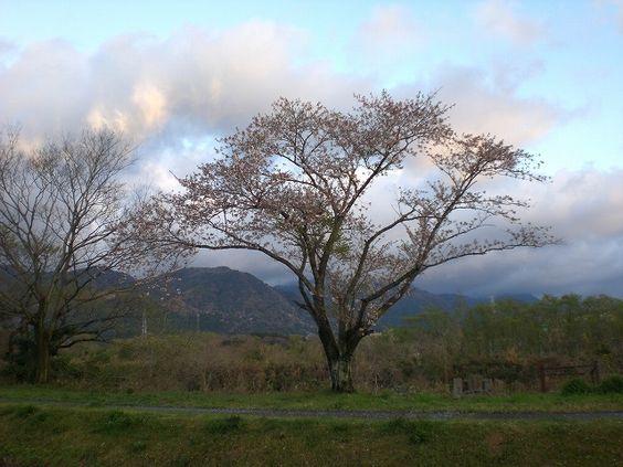 菰野町大羽根園地区 早朝散歩   平成25年4月7日撮影