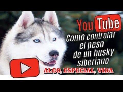 Como Controlar El Peso De Un Husky Siberiano Husky Siberiano Husky Siberiano