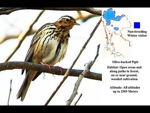 Olive Backed Pipit Bird Video Bird Gif Bird Bird Photo