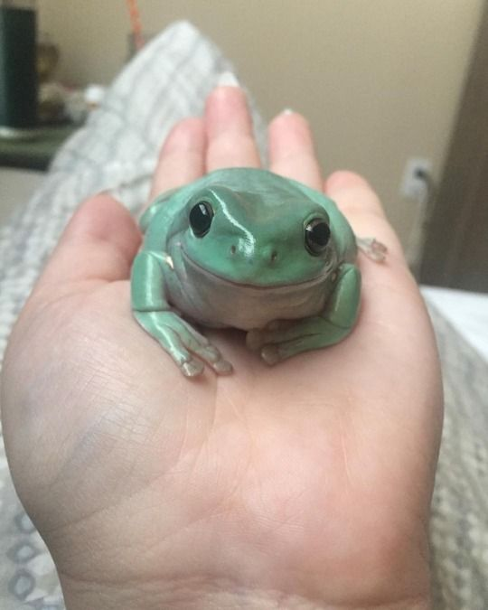 1 Tumblr Pet Frogs Cute Frogs Whites Tree Frog