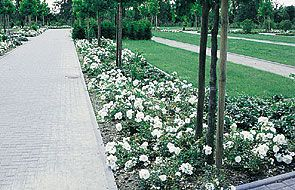 Carpet roses white allaboutyouth flower carpet rose white images decoration ideas mightylinksfo
