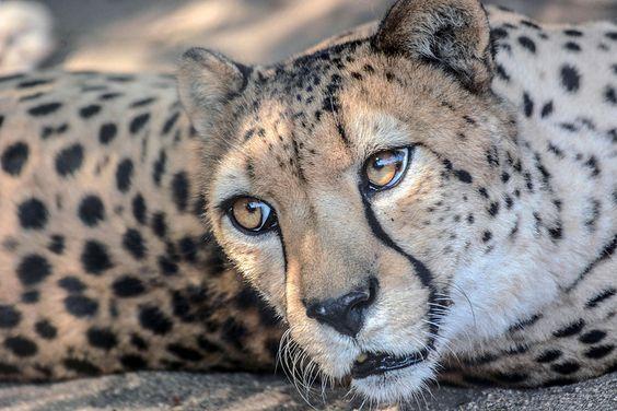 Incredible Looking Cheetah. (by Lisa Diaz).