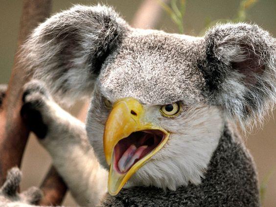 Koala with beak