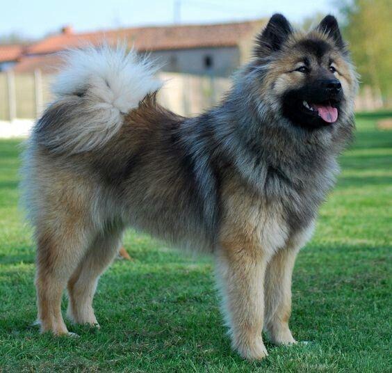Eurasier Dog Breeder Fluffy Dogs Spitz Dogs