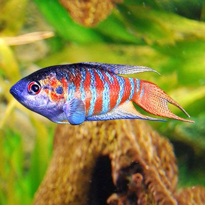 Pinterest the world s catalog of ideas for Freshwater pond fish