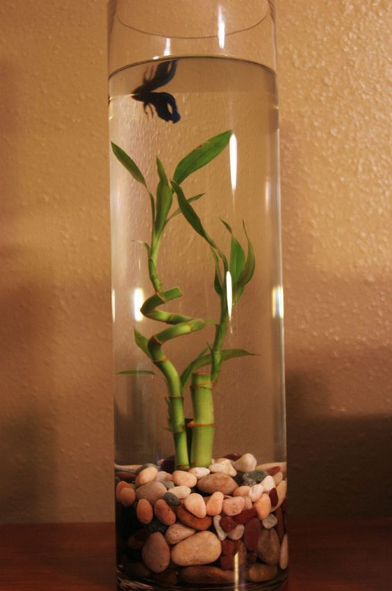 Blue betta tank aquatic gardeners and fish tanks for Betta fish bowl ideas