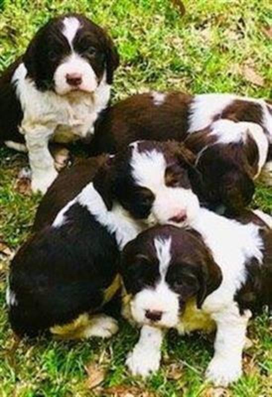 Akc English Springer Spaniel Akc English Springer Spaniel Puppies Liver White Tri Colors 6 Spaniel Puppies Springer Spaniel Puppies Springer Puppies