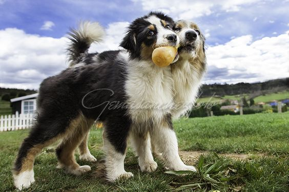 Dos Perritas Llevando Un Mismo Juguete Australian Shepherd Dogs Animals