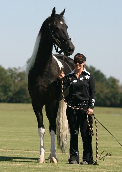 Georgian Grande Baron Von Vendavel Standing 17.3 at 6 Years old.    The Georgian Grande Horse is a new horse breed being developed from crossbreeding the American Saddlebred on the Friesian horse and assorted draft horse breeds. The aim of the breeding is to create a Saddlebred-like horse that adds the best qualities of heavier breeds. One goal of the breed registry is to recreate a historic type of Saddlebred common prior to the 20th century that has been less emphasized in modern times.