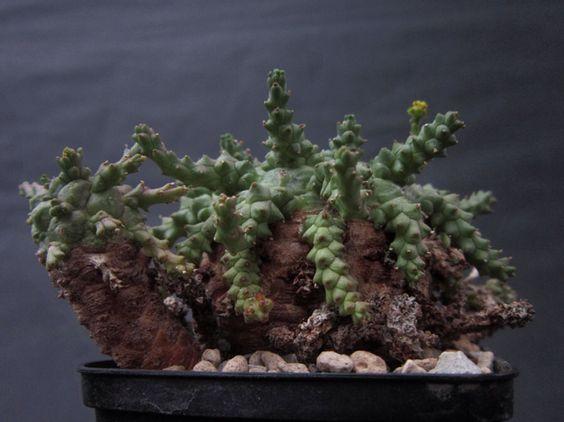 Euphorbia brevirama