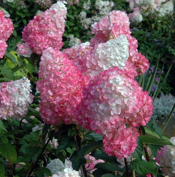 Hydrangea pan Vanilla Strawberry™ from First Editions - huge blooms, upright stems. Nice and hardy, too. Gorgeous!