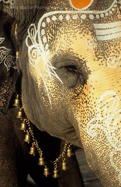 Indian Elephant by chrismellor on Flickr.