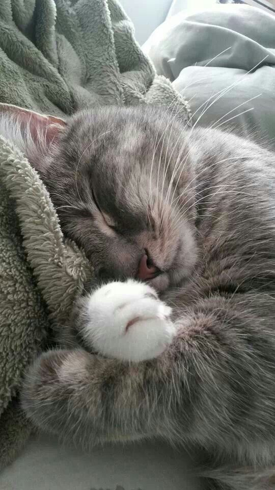 So Precious-grey tabby cat w/ white paws curled up sleeping in gray fuzzy