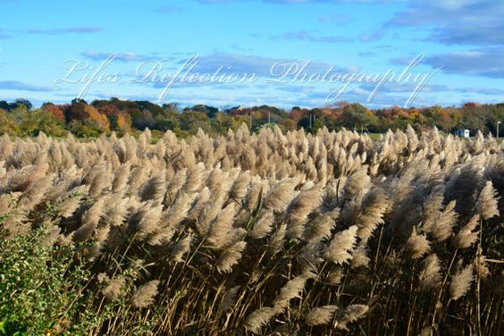 Indian Grass Nature Photography Wall Decor Fine by LifesReflection