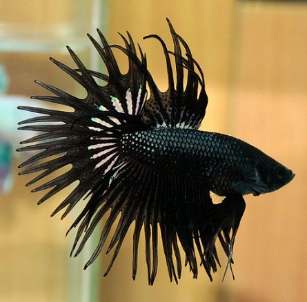 Beta fish My kind of fish. Black and beautiful. Gothic ...