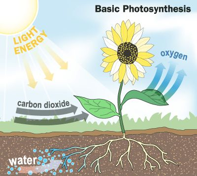 The photosynthesis cycle allows plants to convert carbon dioxide into oxygen…