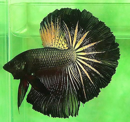 My house, Copper and Betta fish on Pinterest  My house, Coppe...