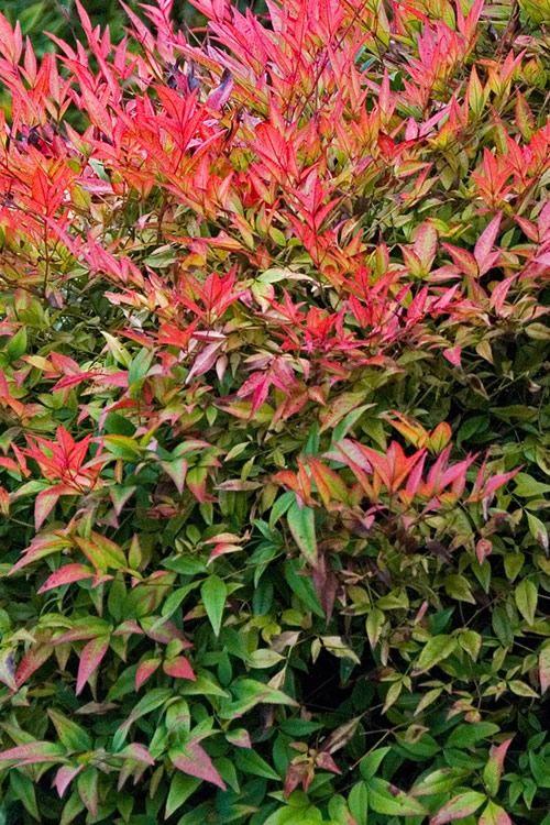 Buy Compact Heavenly Bamboo Nandina For Sale Online From Wilson Bros Gardens Plants Garden Shrubs Nandina Plant
