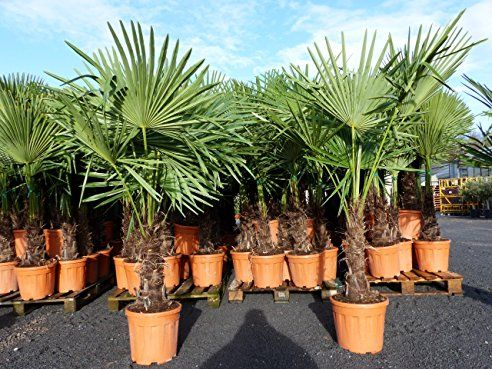 Xxl 180 Cm Palme Winterhart Trachycarpus Fortunei Hanfpalme Bonsai Zitrone 30 40 Cm Hanfpalme Palmen Garten Pflanzen