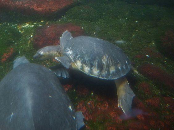 http://faaxaal.forumgratuit.ca/t3060-photo-de-tortue-d-eau-douce-tortue-a-nez-de-cochon-carettochelys-insculpta
