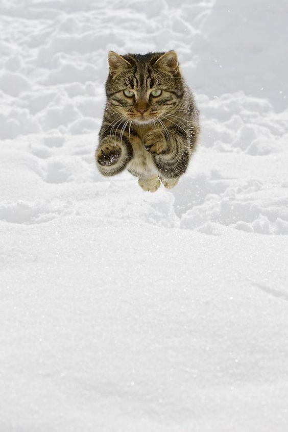 Domestic Cat Felis Catus Male Jumping