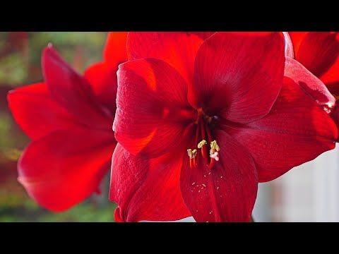 How To Grow Amaryllis Bulbs Amaryllis Summer Plant Fun Gardening Youtube Amaryllis Plant Summer Plants Amaryllis