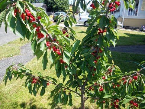 How To Prune A Dwarf Cherry Tree Youtube Dwarf Fruit Trees Miniature Fruit Trees Cherry Fruit Tree