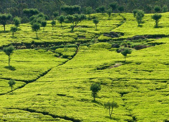 Campos de té en Sri Lanka.