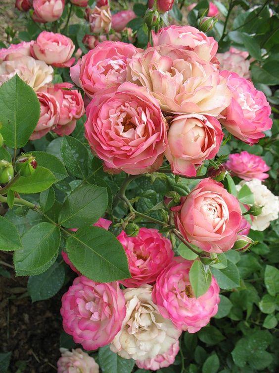 Рози Флорибунда