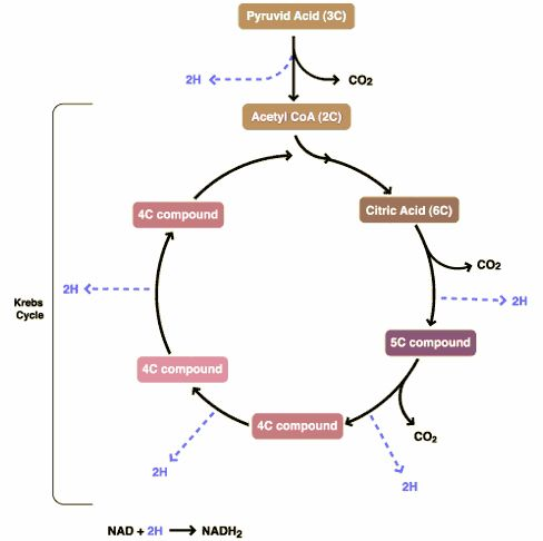 Krebs Cycle | The Krebs Cycle | Pinterest | Gcse revision, Cell ...