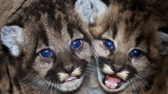 These Mountain Lion Kittens Were Just Discovered Near Los Angeles - BuzzFeed News