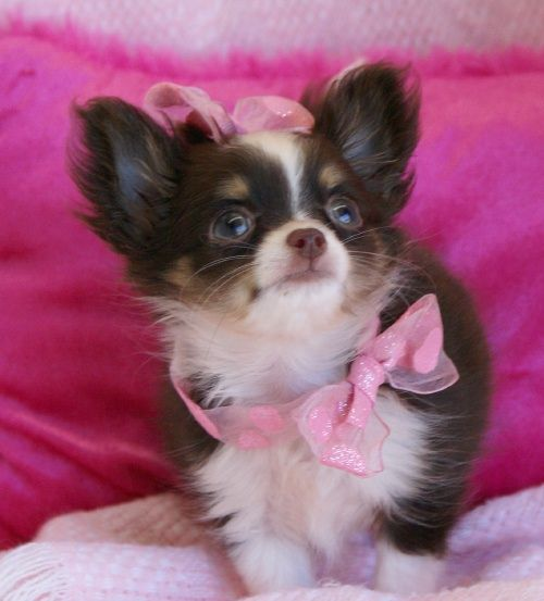 Doggie Clothes For Chihuahuas Are Fashionable And Practical Chihuahua Puppies Long Hair In 2020 Chihuahua Puppies Chihuahua Puppies For Sale Teacup Chihuahua Puppies