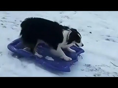 1 Dog Drags Sled Up Snowy Hill And Goes On A Wild Ride Youtube