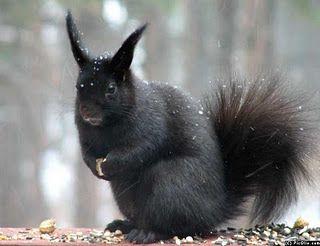 Abert's Squirrel: Black Squirrels, Evil Squirrel, Devil Skwerl, Funny Pictures, Red Squirrel, Funny Squirrels, Squirrels Pictures, Funny Animal