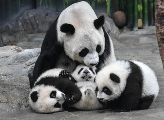 Guangzhou, China Mother panda Ju Xiao plays with her triplet cubs at the Chimelong Wildlife Park. The cubs, born on July 29, are the fourth panda triplets recorded in history and the only living triplets now in the world. Only 1,000 tourists will be allowed to visit them each day.