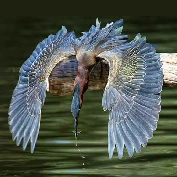 Blue Heron - look at those intricate wings! Large wading bird, North & Central America, Caribbean, Galapagos.