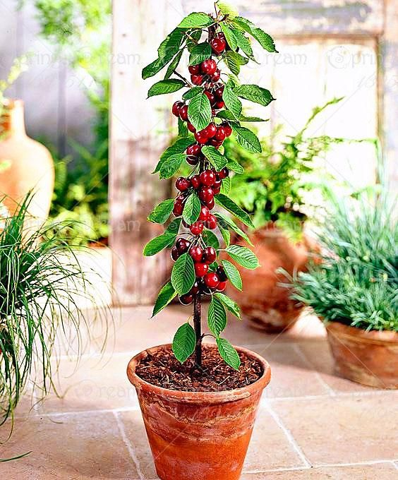 Bonsai Cherry Tree Seeds Dwarf Fruit Trees Tree Seeds Fruit Trees