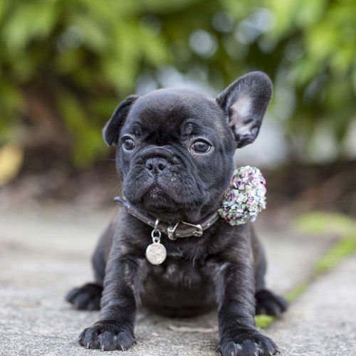 Black French Bulldog Puppy Now Living In Washington French