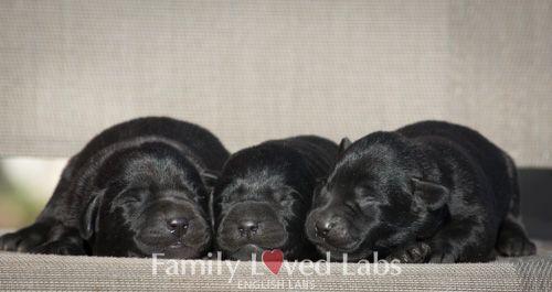 Beautiful Black English Lab Puppies Newborn Puppies Newborn